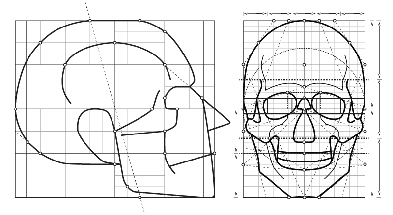 human skull drawing proportions